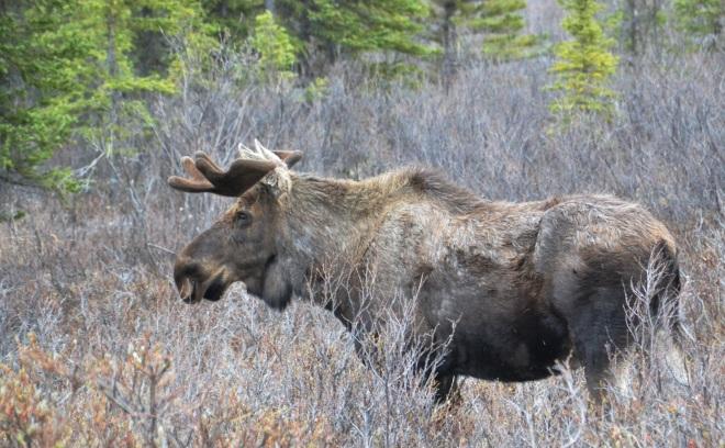 DNP - Bull Moose