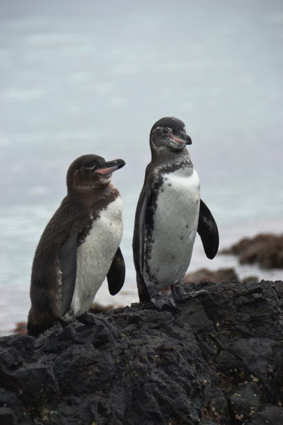 Duo of Penguins